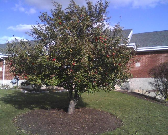 RLB Apple Tree in the Fall