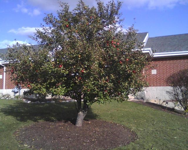 RLB Apple Tree in the Fall
